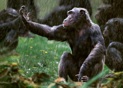 Chimpanzee by Steve Bloom