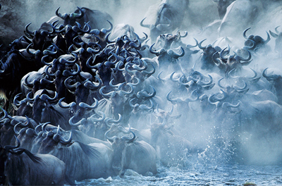 Wildebeest by Steve Bloom