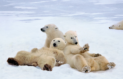 Polar bears by Steve Bloom